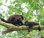 Número de bugios e macacos-prego abatidos está acima da capacidade de reposição populacional das espécies